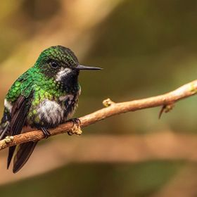 Bee Hummingbird-2