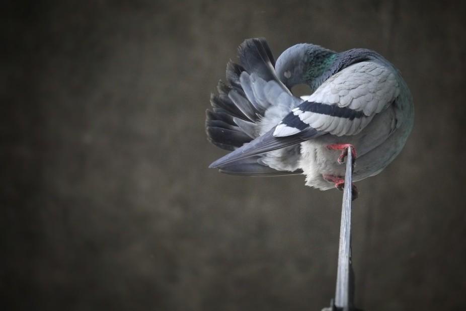 Preening Pigeon