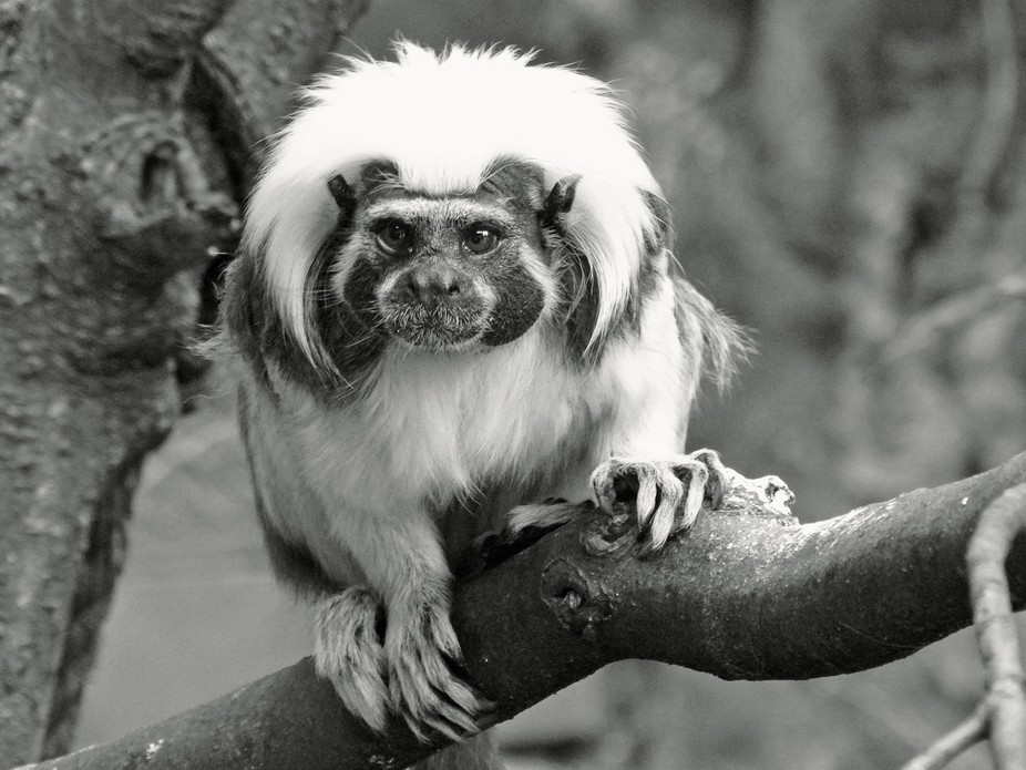 Wellington Zoo, New Zealand, a Cotton-Top Tamarin