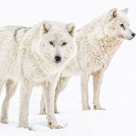 The gray wolf or grey wolf (Canis lupus), also known as the timber wolf[ or western wolf, is a canid native to the wilderness and remote areas of...
