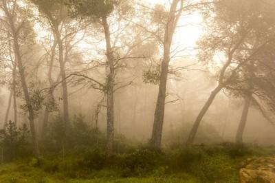 niebla en la pinada