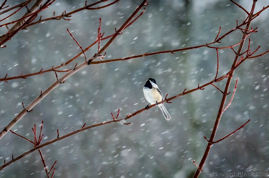 Black Capped Chickadee in the morning snow.