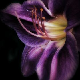 Dramatic purple day lily with golden, glowing throat, sprinkled with pollen, like stardust.....
