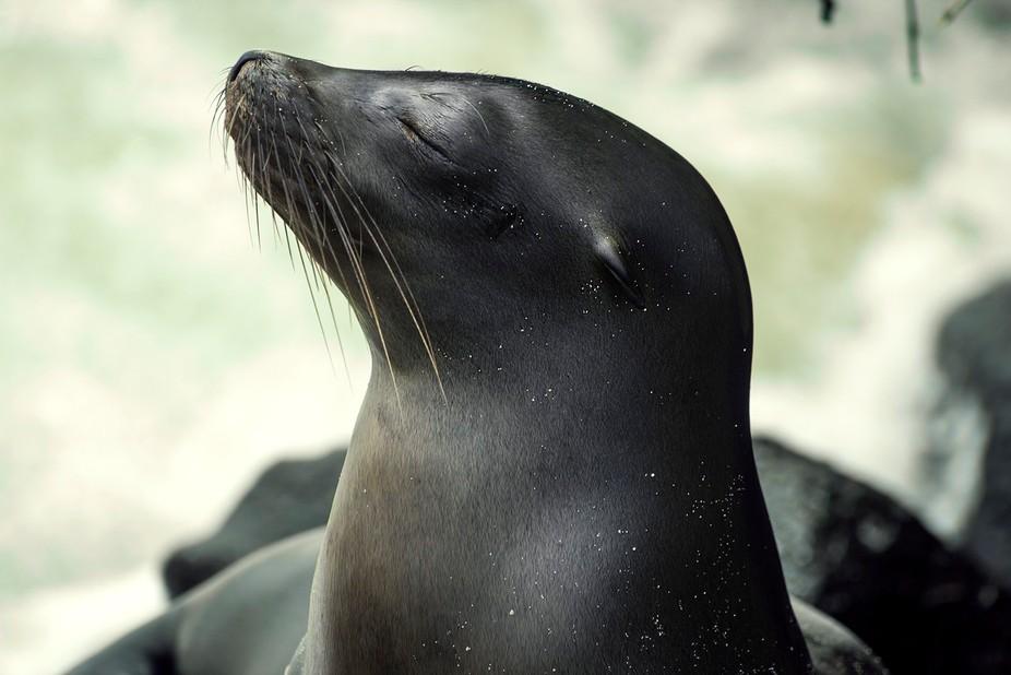 Baby Sea Lion poses for me in Galápagos Ecuador.