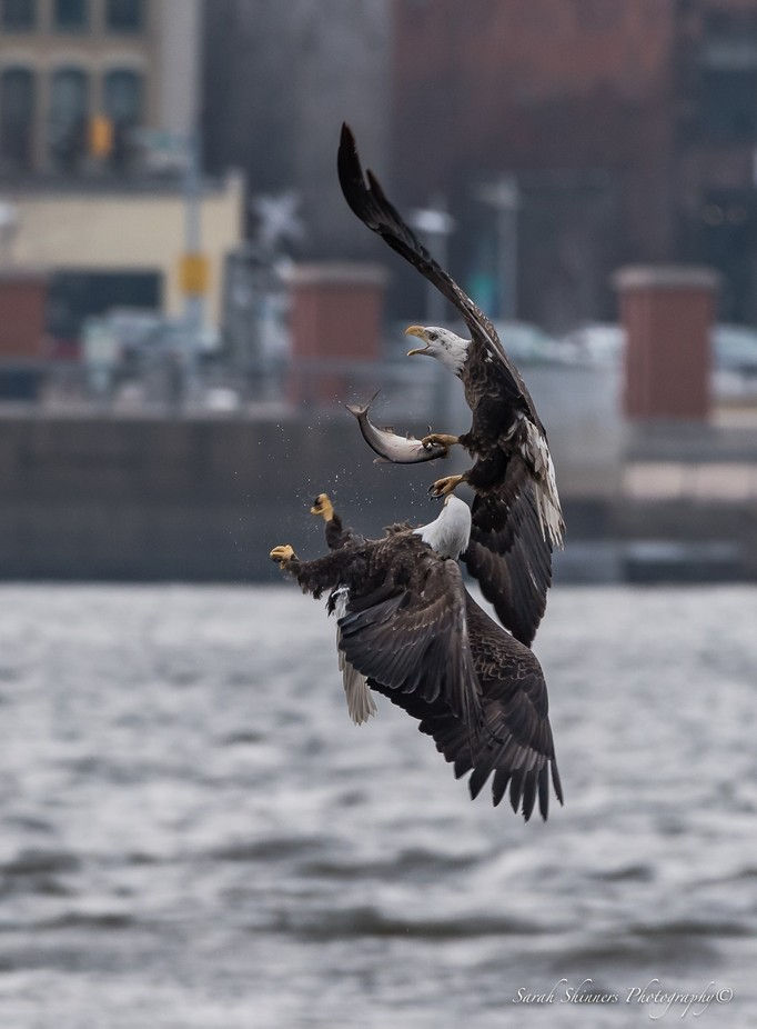 Eagle Battle by SShinners - Animals And Water Photo Contest