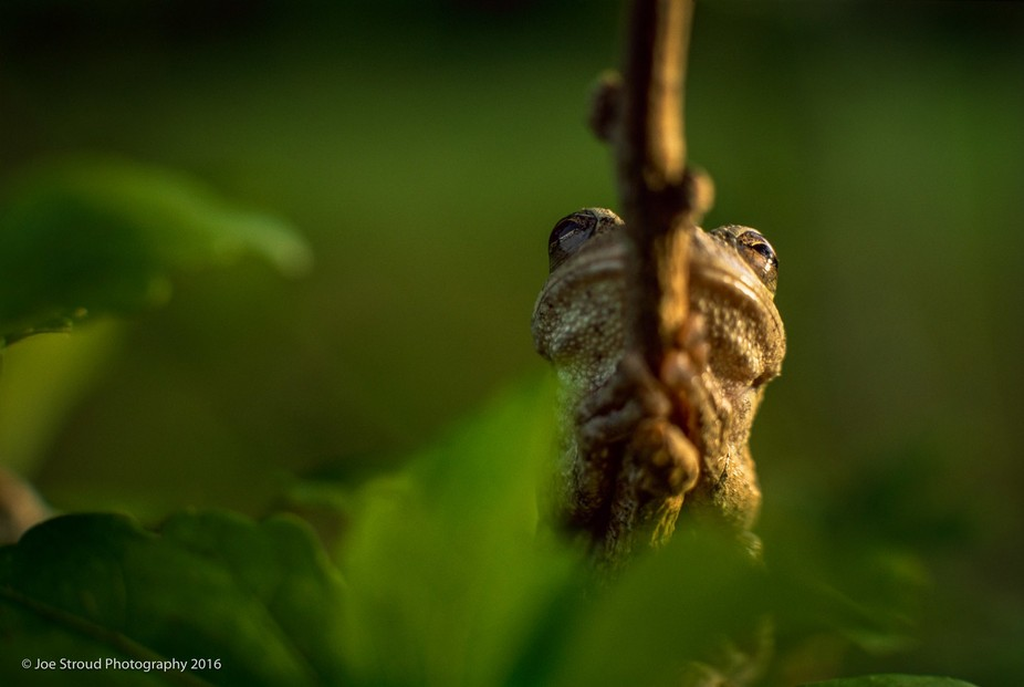 I found this Treefrog sitting on a twig on a dogwood tree late one afternoon. I shot several diff...