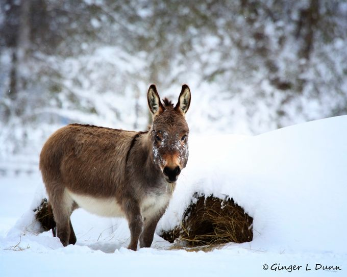 Winter Donkey by GLDPix - Farms And Barns Animals Photo Contest