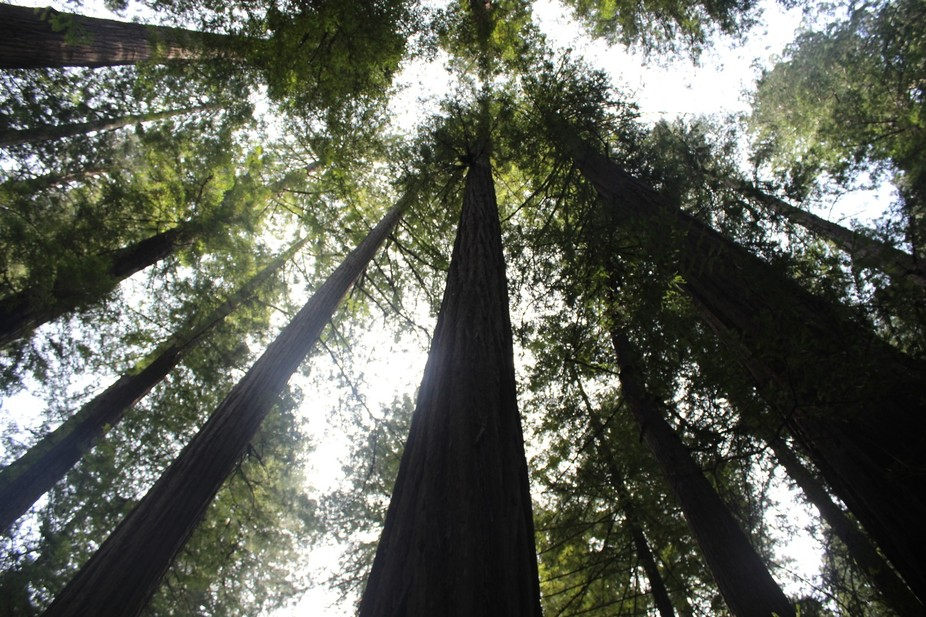 Too high to see the tops of these trees; the sun streaming through.  Heavenly.  Redwood forest