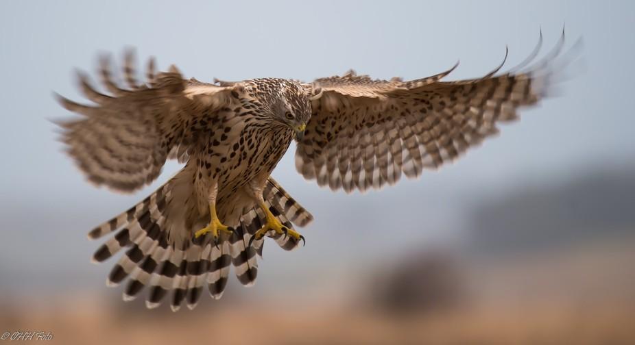 Hovering Goshawk juvenile