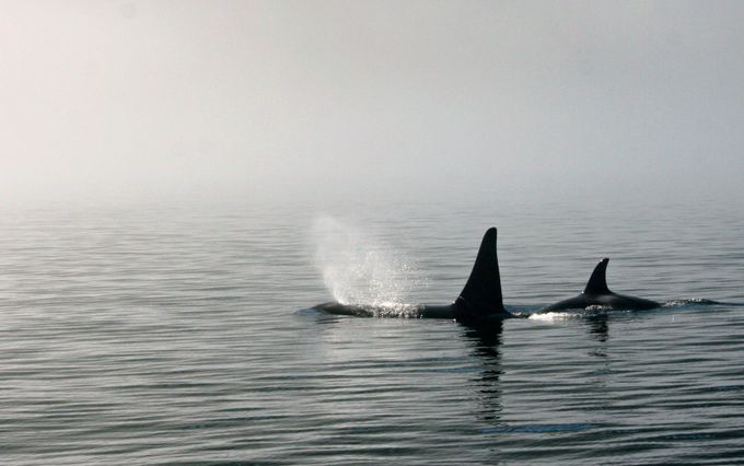 Orcas in the Mist by kariwatkins - Composing with Negative Space Photo Contest