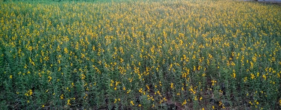 Walking down lane, during my regular evening walks I happened to see these small patch of land lu...