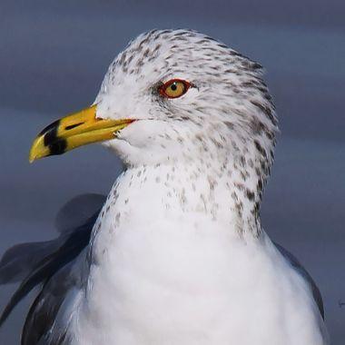 seagull head shot