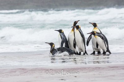 King Penguins learning to swim