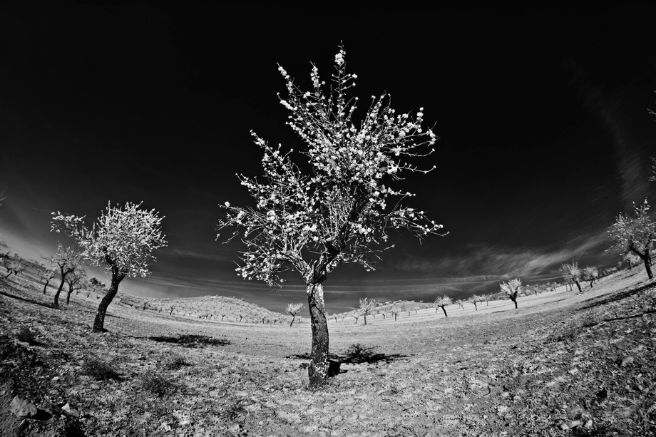 Almond trees in blossom in late January 2016 in Almeria Province, Andalucia, Spain