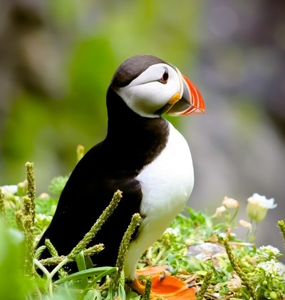 Puffin right