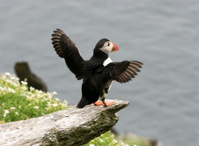 Puffin wings_