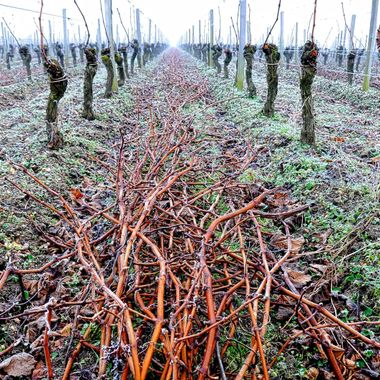 Winter Pruning on the right bank, Bordeaux at Cheval Blanc.