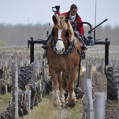 Draft horse pulls a hand-forged carriage and plow through the sloped gravel vineyards of Chateau Pontet-Canet, Pauillac - Bordeaux Left Bank.  While it takes years of training and patience to deploy horse-drawn plowing in the vineyards, the benefits are significant -- large tractors will compress the soil; the forged plow has a special attachment that gently tills the soil directly along the row; and vineyard harmony is improved.  The wine?  One of the finest Cabernet in the world.