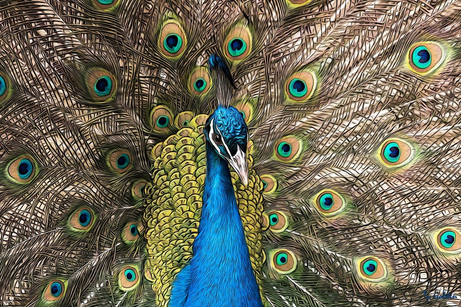 This is a picture I took of a peacock at our local Zoo. I then worked with it in Photoshop.