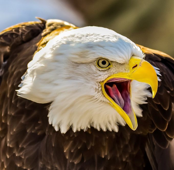 Eagle 1 by johnsinclair_4356 - Just Eagles Photo Contest