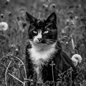 A black and white version of my past kitty, with his typical attitude showing on his face.