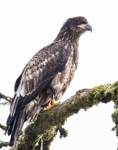 a juvenile Bald Eagle.
