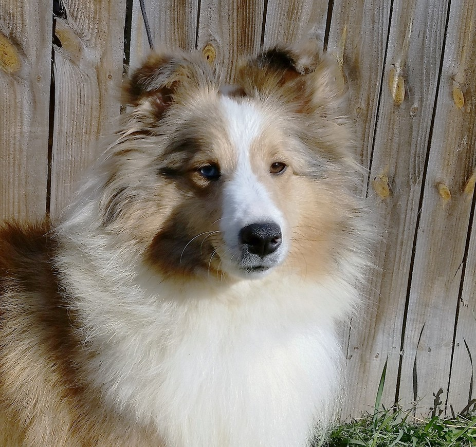 Beautiful sable merle Sheltie with two different color eyes.