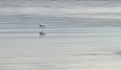 silver seagul