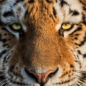 The Eyes of an Amur Tiger at the WHF.