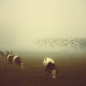 A flock of birds frolicing in the cow field.