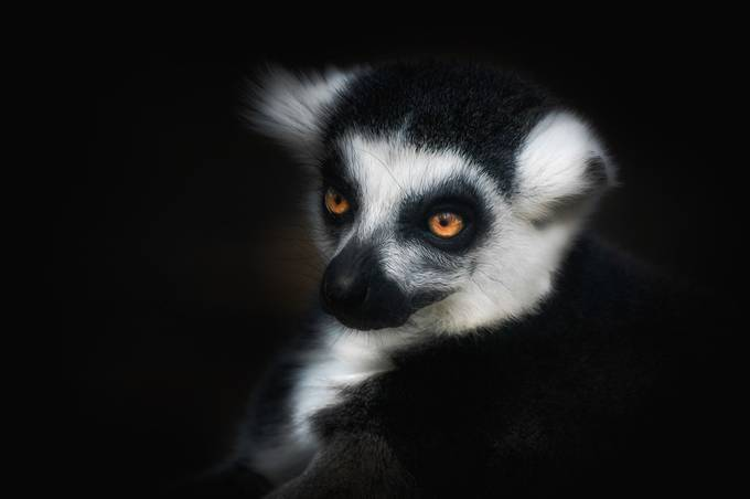 LEMUR by Missklik - Animals And Rule Of Thirds Photo Contest
