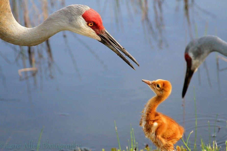 This baby sand hill crane was listening well to the parent who was teaching it how to catch worms...