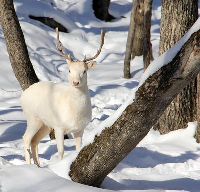 Albino White Tail Deer