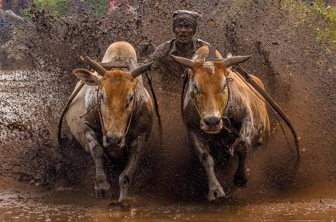 The Racing Cows by MediaHendriko - World Expeditions Photo Contest