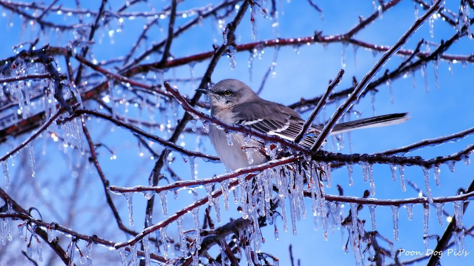 Mockingbird in an ice storm