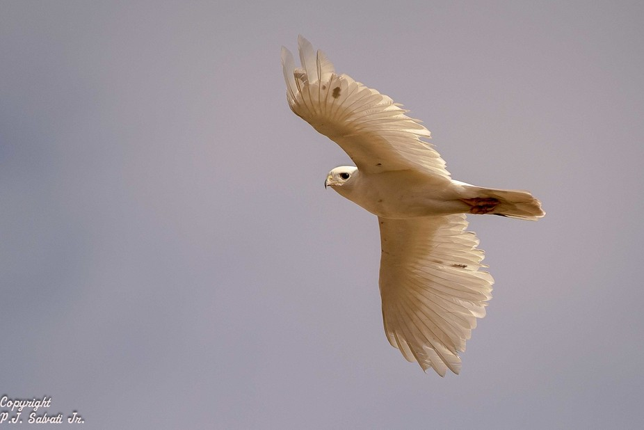 Leucistic Red Tailed Hawk 1
