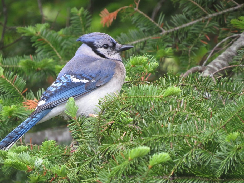 Blue jay relaxing and enjoying the warm early morning sunshine.
