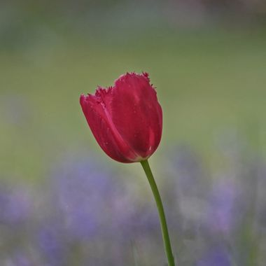 The Mount Wilson Collection (15) - Red Tulip