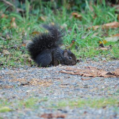 Nov 2013 baby black squirrel side of road by Mark's Nature Park in Parksville, British Columbia, Canada