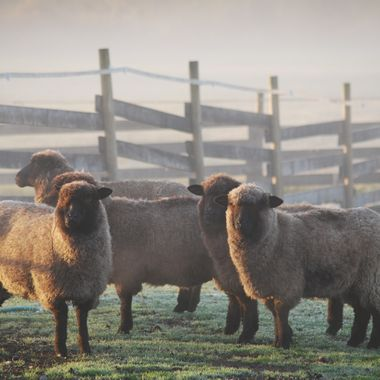 Sheep huddle in the fog on Stanford in Parksville, BC