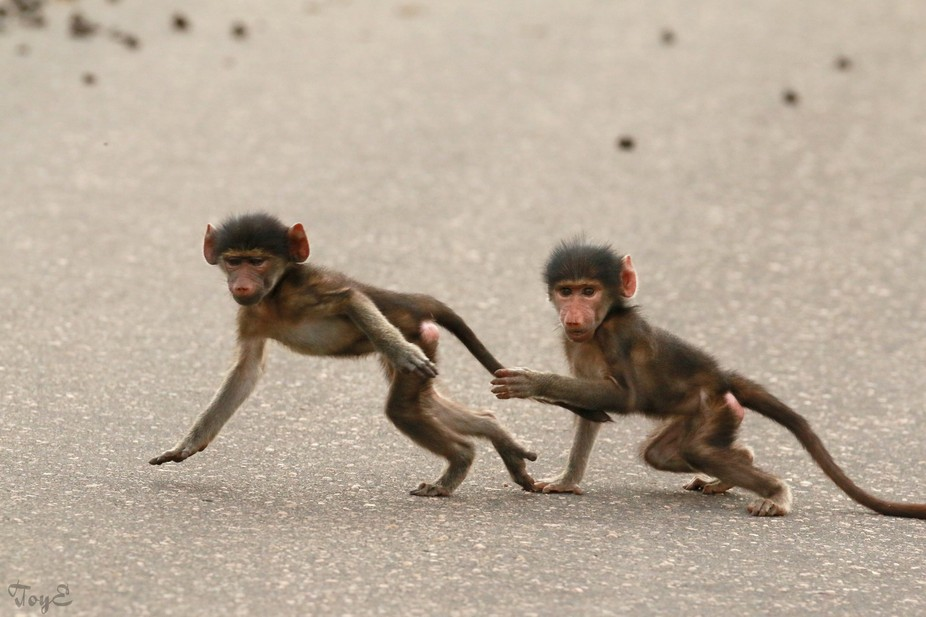Naughty little Baboons crossing the road
