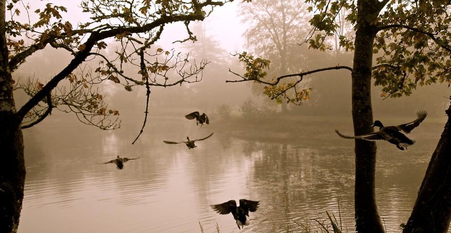 Misty Morning Mallards, in Mount Falcon Estate, Mayo , Ireland by Wayne Leitch