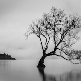Misty morning on Lake Wanaka, These birds roost in the tree over night and fly away for the day after sunrise