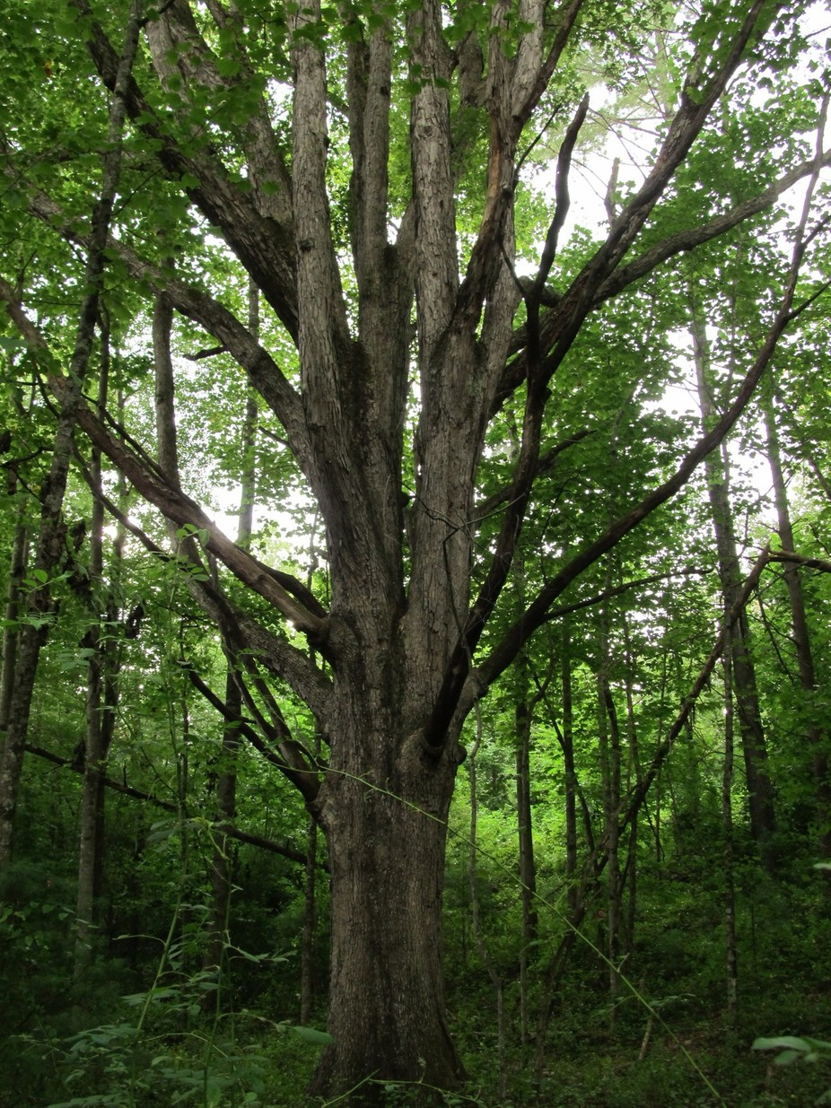 large hard wood tree  in Traphill, NC woods