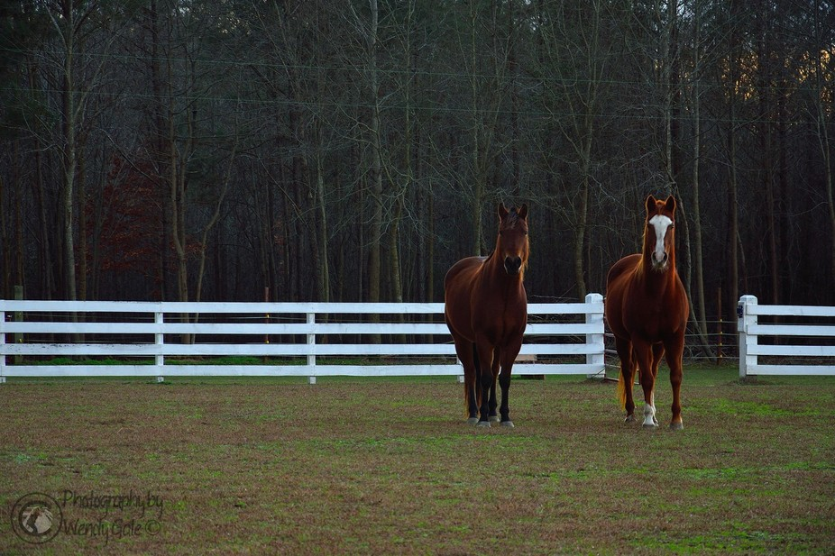 Horses pose for the camera