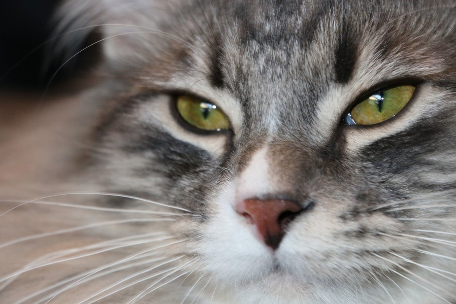 My beautiful Tibble has this very rare eye condition which means he has two colors (yellow and gr...