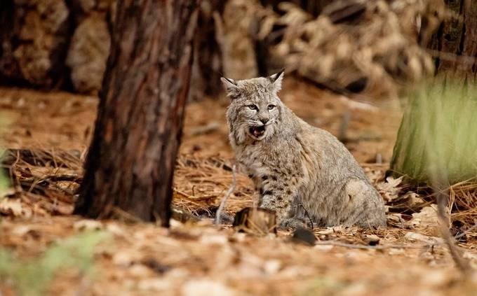 Bobcat Roar by Ayersphotography - Wildlife Photo Contest 2017