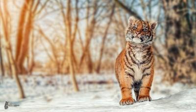 Tiger Cub - I'm big