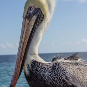No telephoto lens was used here!  This pelican let me get really close.  I could've walked closer, maybe, but I didn't really want to d...