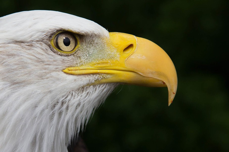 Bald Eagle-2